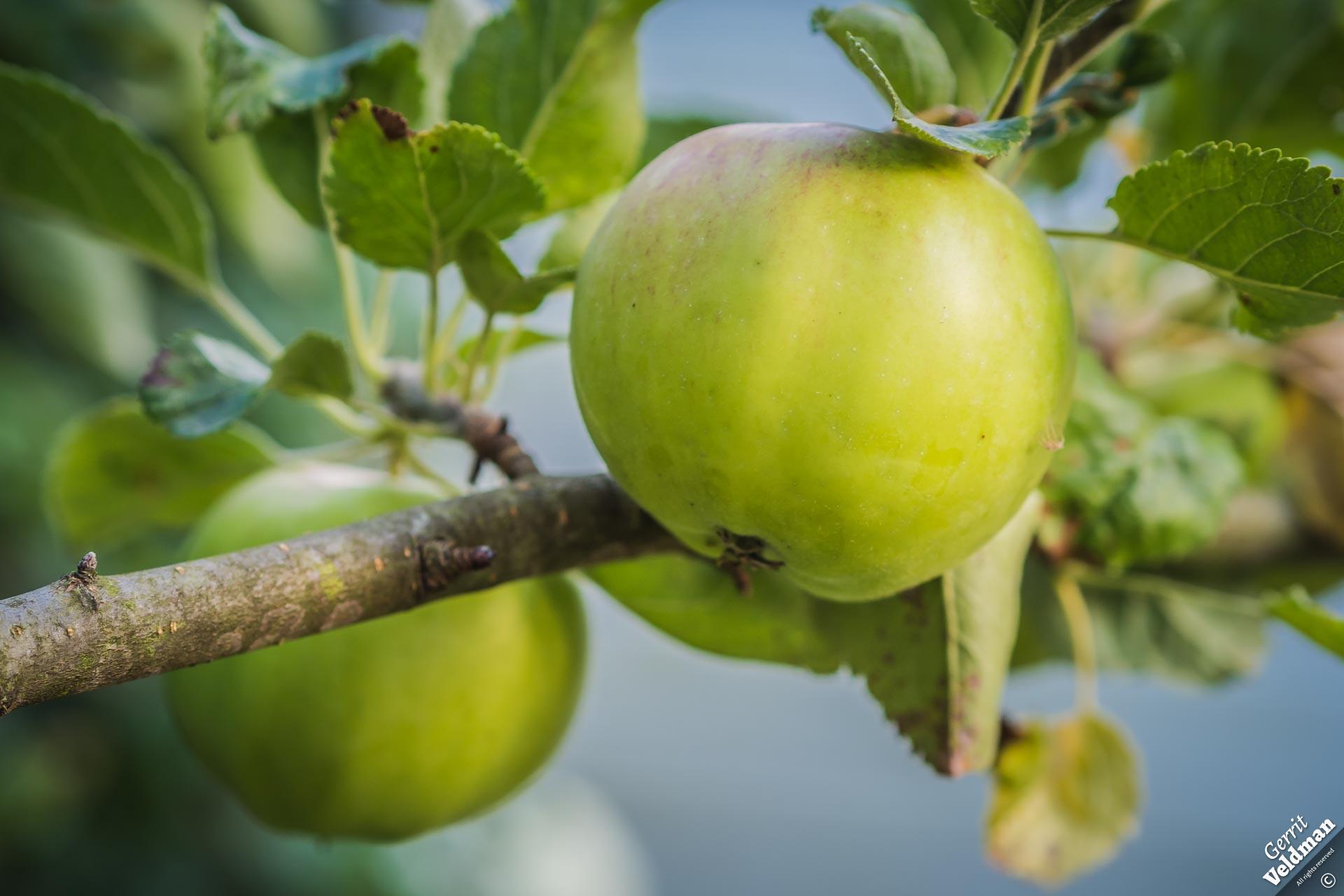 Appel aan de boom