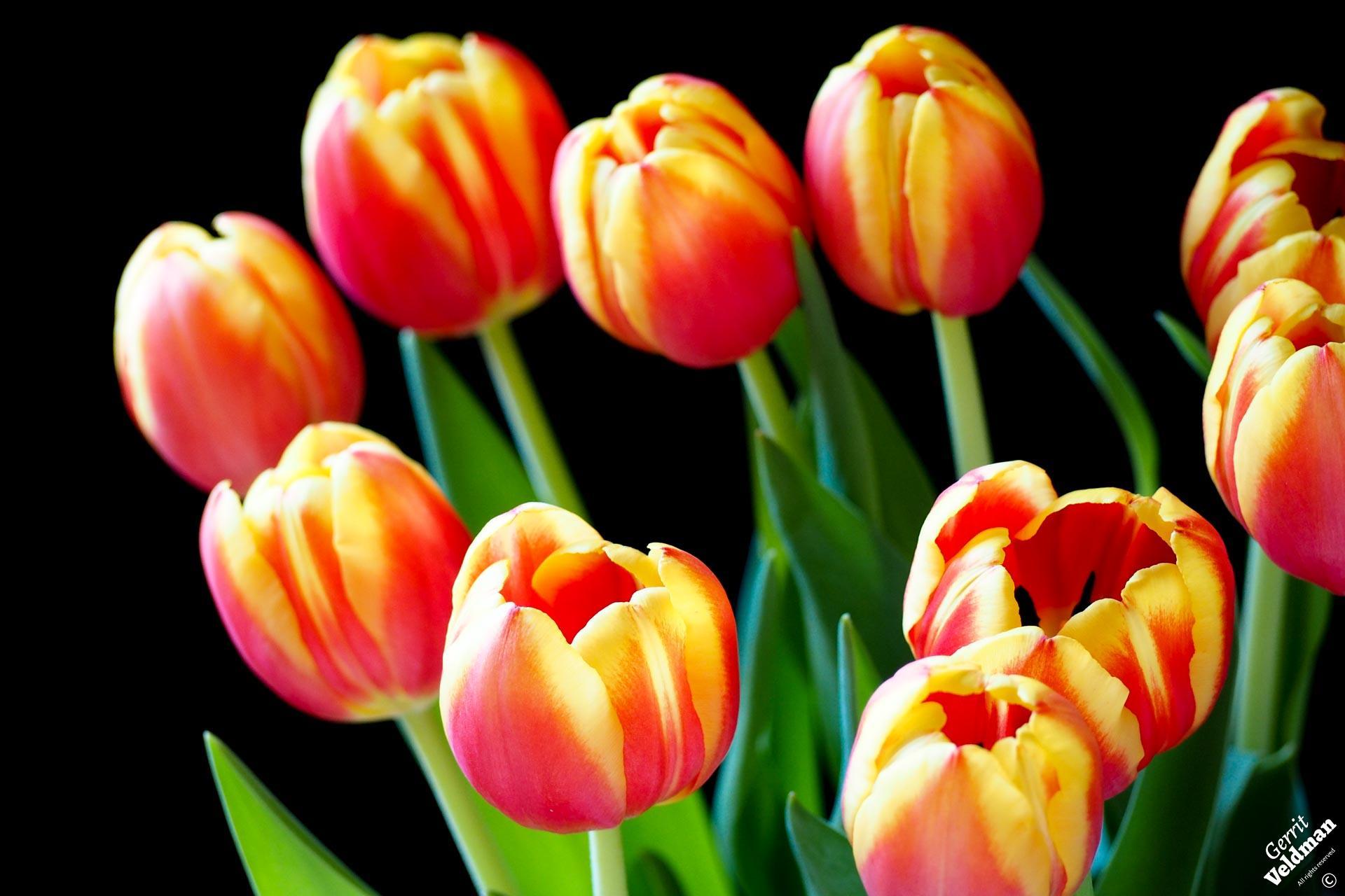 Roodgele tulpen