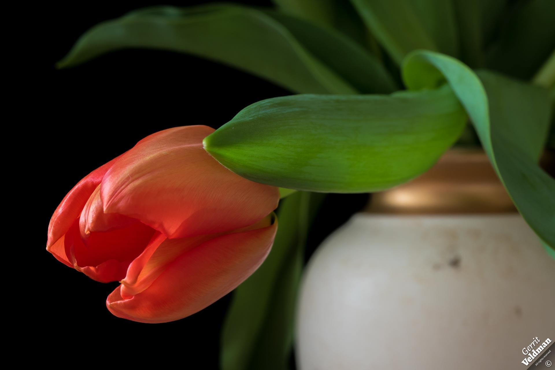 Hangende tulp