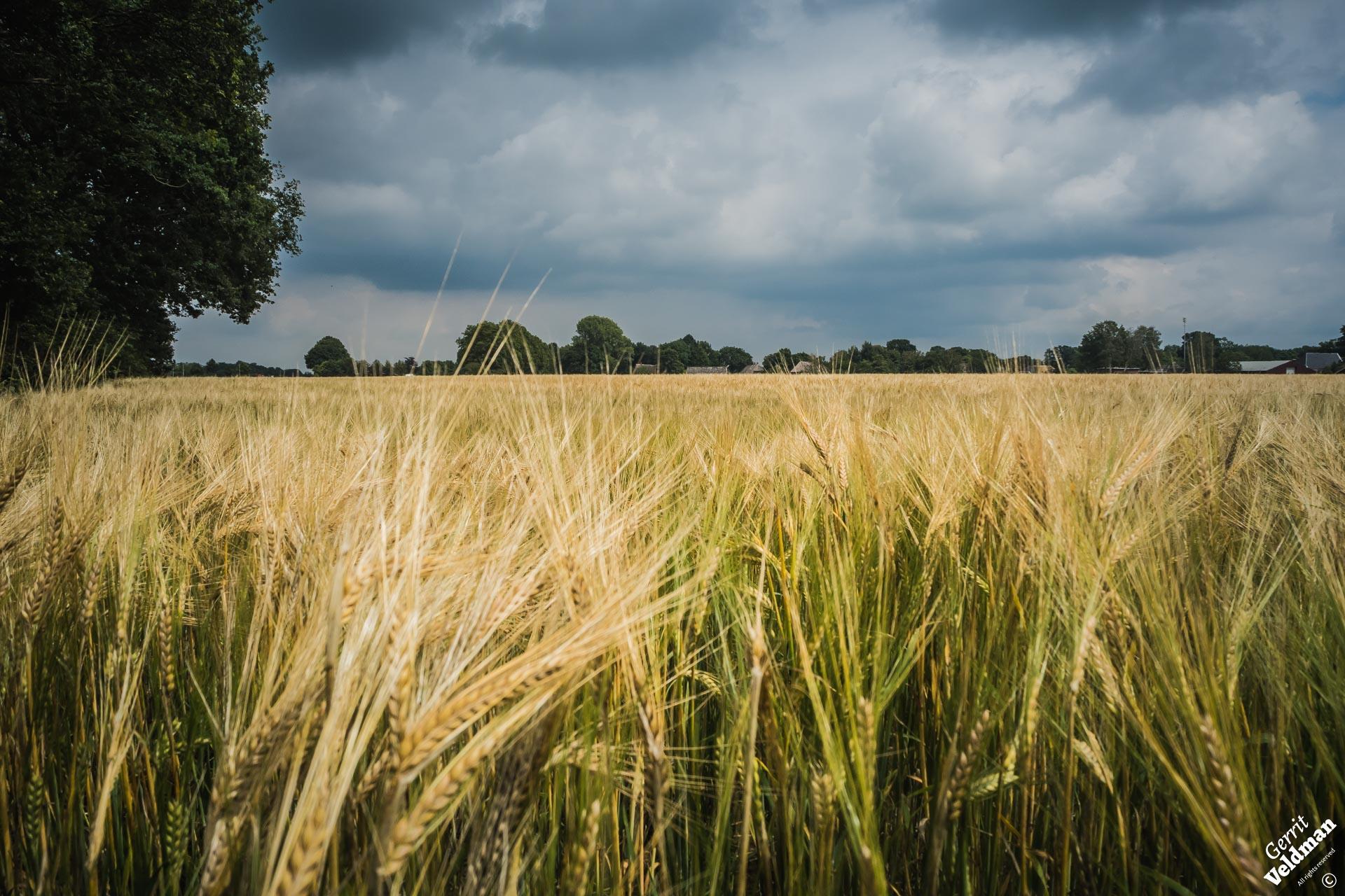 Graanveld bij Noord-Sleen