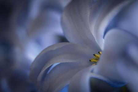 Blauwe hyacinth